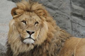 lion-989140_640